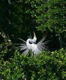 för egret white utmärkt Fotografering för Bildbyråer