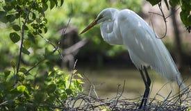 för egret white utmärkt Arkivbilder
