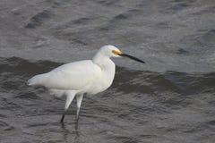 för egret white utmärkt Arkivfoto