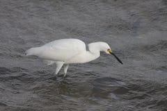 för egret white utmärkt Arkivbild