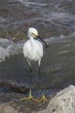 för egret white utmärkt Royaltyfri Foto