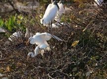 för egrets white utmärkt Arkivfoto