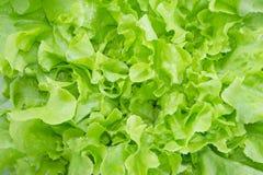För ekblad för Closeup grön grönsallat Royaltyfria Bilder