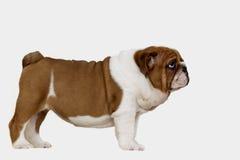 För engelsk röd vit bulldoggclousup för valp Arkivbilder