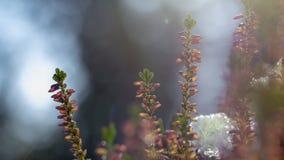 För Erica för Calluna vulgaris hed för vinter carnea i snön arkivfoton