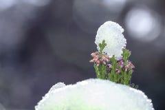 För Erica för Calluna vulgaris hed för vinter carnea i snön royaltyfri foto