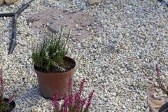 För Erica för Calluna vulgaris hed för vinter carnea i snön royaltyfri bild