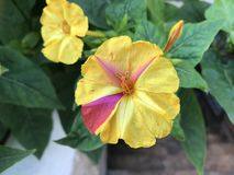 För evigtthé blommar på trädgården Royaltyfria Bilder