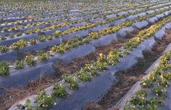 för fält jordgubbe för alltid Fotografering för Bildbyråer