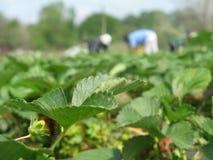 för fält jordgubbe för alltid Royaltyfri Bild