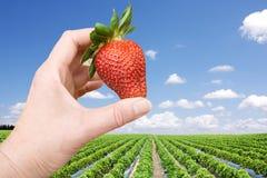 för fälthand för bär stor jordgubbe Fotografering för Bildbyråer