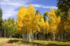 för färgfall för asp 3 skog arkivbild