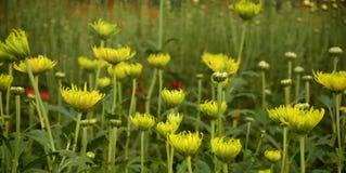 För färgrik inre greenh krysantemumväxt för blomning Royaltyfri Foto