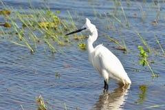 Lite egret Fotografering för Bildbyråer