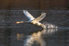 För fågelcygnusen för den stumma svanen spring för oloren, vattenyttersida, tar av Arkivfoton