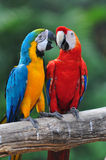 för förälskelsemacaw för fågel färgrik papegoja Fotografering för Bildbyråer