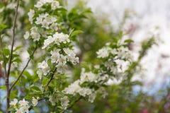 för filialfjäder för äpple blomma tree Arkivbilder