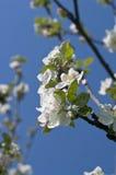 för filialfjäder för äpple blomstra tree Arkivfoton