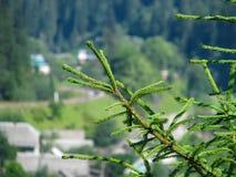 för filialsäsong för bakgrund blå vinter för spruce för sky arkivbild