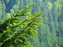 för filialsäsong för bakgrund blå vinter för spruce för sky royaltyfri foto
