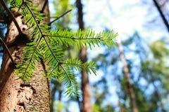 för filialsäsong för bakgrund blå vinter för spruce för sky royaltyfri fotografi