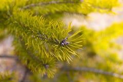 för filialsäsong för bakgrund blå vinter för spruce för sky Arkivfoto