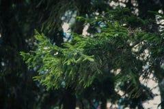 för filialsäsong för bakgrund blå vinter för spruce för sky royaltyfri bild