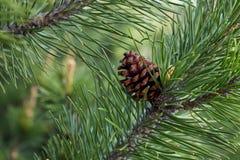för filialsäsong för bakgrund blå vinter för spruce för sky Fotografering för Bildbyråer