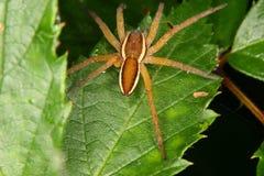 för fimbriatusraft för 2 dolomedes spindel Royaltyfri Fotografi