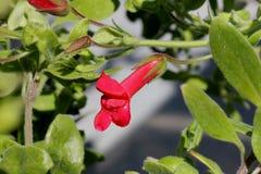 ` För Firecracker för Galvezia speciosa`, Royaltyfria Foton