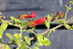 ` För Firecracker för Galvezia speciosa`, Arkivfoton