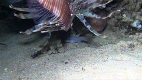 För firefishPterois för lejon fisk broadbarred antennatahunting jakt arkivfilmer