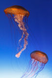 för fisklutning för bakgrund blå gelé Arkivbilder
