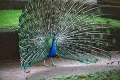 för fjädrar påfågel ut Royaltyfri Fotografi