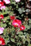 För flowersï¼ för singel rosa ˆRosa chinensis Jacq var spontanea Rehd och Wils YÃ-¼ och Kuï ¼‰, Royaltyfri Foto