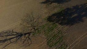 För flyg- enkelt träd dronlängd i fot räknat för HD, gammal ek i fältet, ultrarapid lager videofilmer
