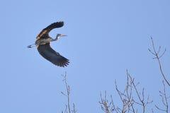 för flyggray för ardea cinerea heron royaltyfria bilder
