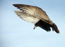 för flygseagull för bakgrund blå sky Fotografering för Bildbyråer