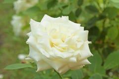 För form` för vit perfekt rosa nobel Polarstern ` i trädgård Royaltyfri Bild