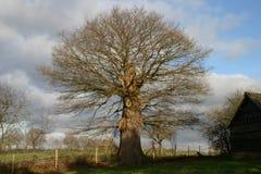 för formatillustratör för 8 extra eps tree för oak Royaltyfri Bild