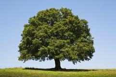 för formatillustratör för 8 extra eps tree för oak Royaltyfria Foton