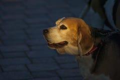 För fotohund för beaglen utomhus- natur Fotografering för Bildbyråer