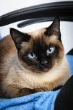 För framsidamakro för Siamese katt closeup Royaltyfri Fotografi