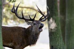 För fullvuxen hankronhjortCervus för röda hjortar som elaphus vrålar eller kallar Arkivbilder