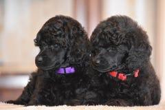 För gåvapudel för valpar förtjusande djur för förälskelse för happines royaltyfria foton