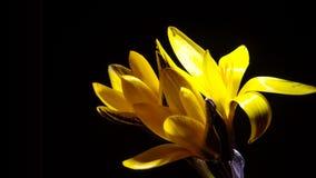 För Galanthus för snödroppekrokussaffran schackningsperiod för tid blomning stock video