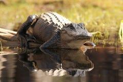 för georgia för alligator amerikansk swamp okefenokee royaltyfri fotografi