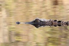 för georgia för alligator amerikansk swamp okefenokee Royaltyfria Bilder