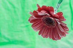 För gerberablomman för vykortet tappar den röda closeupen med vatten grön soft för bakgrund Arkivfoton