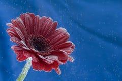 För gerberablomman för vykortet tappar den röda closeupen med vatten Mjuk blåttbakgrund Arkivfoto